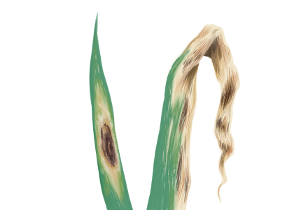 黒斑病におかされたネギの葉