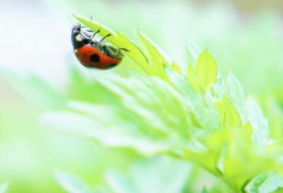 ヨモギの葉にとまるテントウムシ