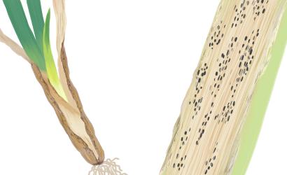小菌核腐敗病におかされたネギの葉