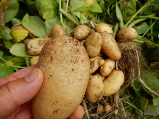 畑でジャガイモを持つ手