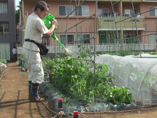 畑の野菜にヨモギ発酵液をかける