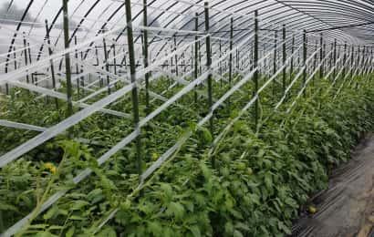 トマト斜め誘引