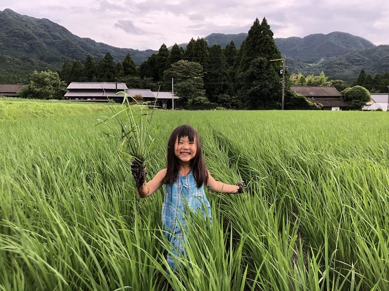 田んぼで草取りをする女の子
