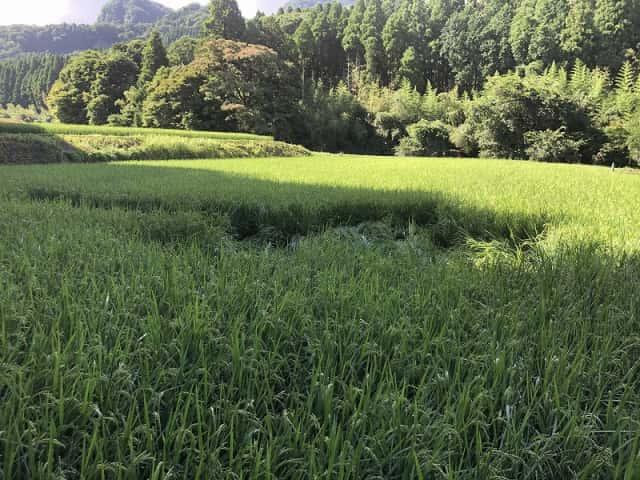 イノシシに倒された稲