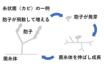 糸状菌(カビ)増殖のメカニズム