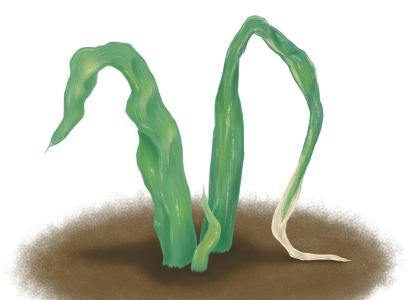 萎縮病におかされ葉が萎れ、腐ったネギ
