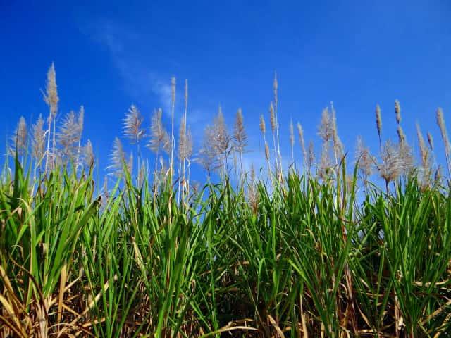 バイオスティミュラント資材の原料にも使われるサトウキビ