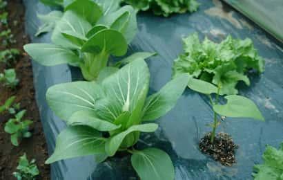 チンゲンサイとほかの野菜の混植