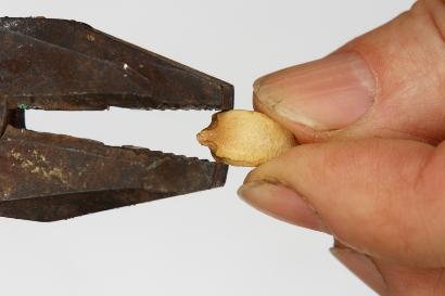 カボチャの種にペンチに割れ目を入れる