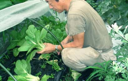 チンゲンサイの収穫