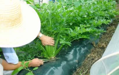 セロリの収穫