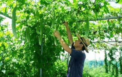 ゴーヤの収穫