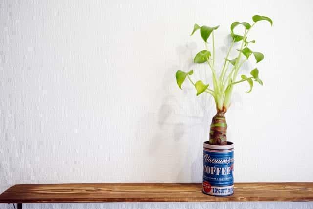 缶に植えたクワズイモ