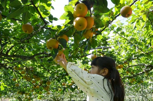 梨狩りを楽しむ子ども
