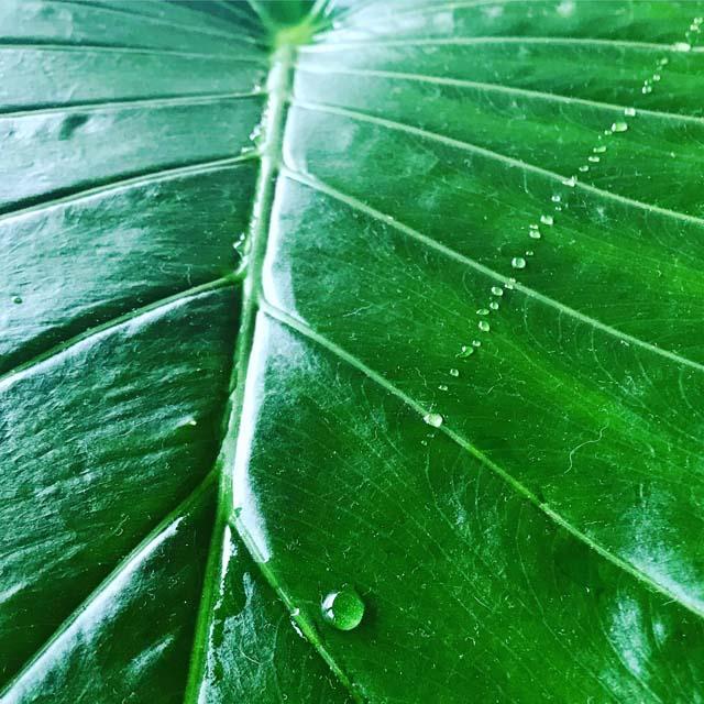 アロカシアの葉から蒸散した水滴