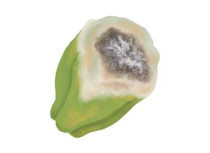 灰色かび病におかされたピーマンの果実