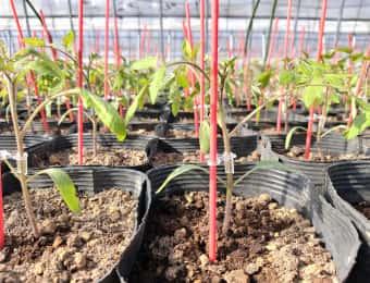 トマトの接ぎ木苗