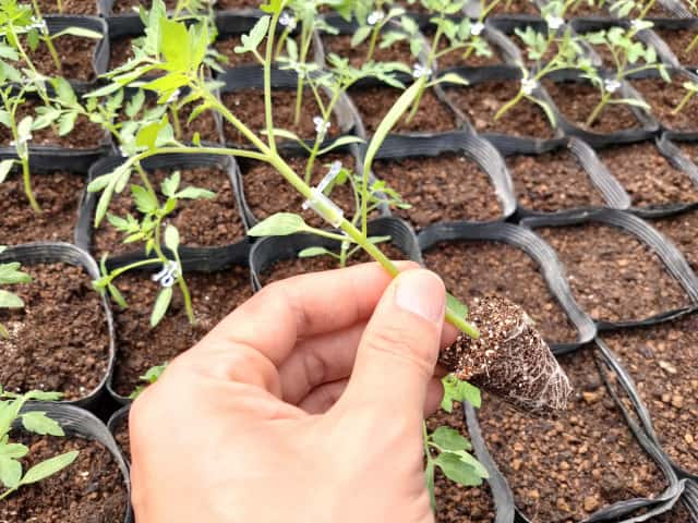 トマト接ぎ木苗仮植