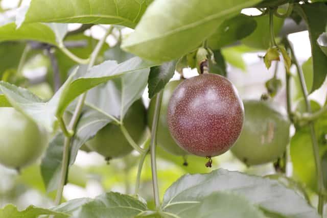 木に生っているパッションフルーツ