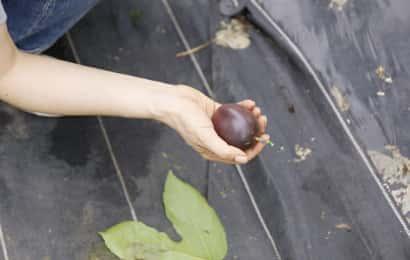 パッションフルーツの果実を拾っている様子
