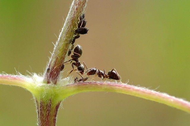 アリに運ばれてきたアブラムシ