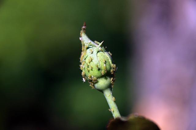 花の蕾に群がるアブラムシ