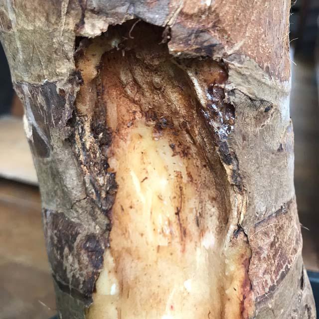軟腐病にかかったクワズイモの幹