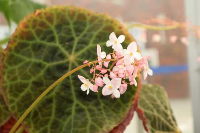 根茎性ベゴニアの花