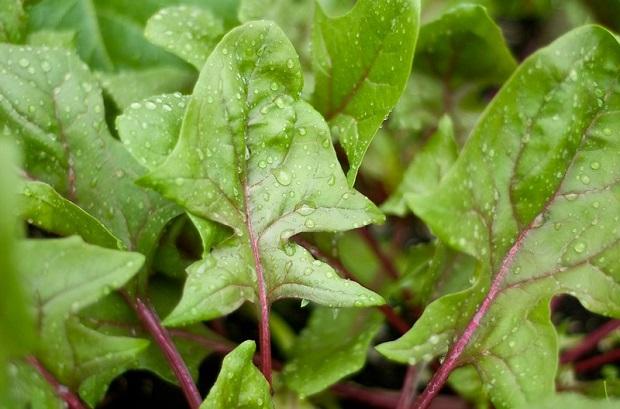 露が付着したホウレンソウの葉