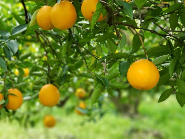 柑橘類の果樹