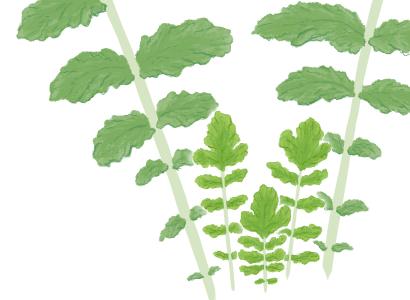 モザイク病におかされたダイコンの茎葉