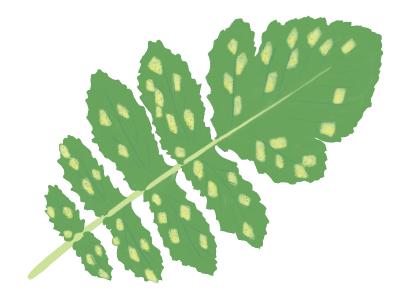 べと病におかされたダイコンの茎葉