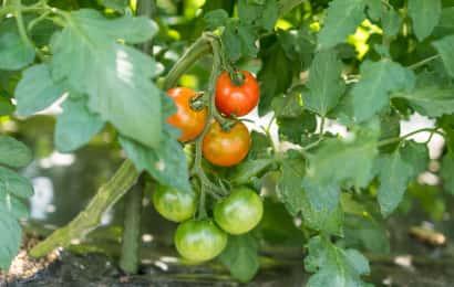 トマトの品種「フルティカ」