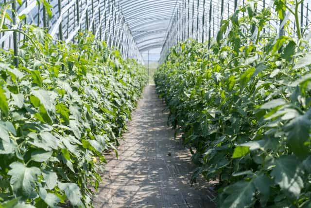 トマト畑の通路