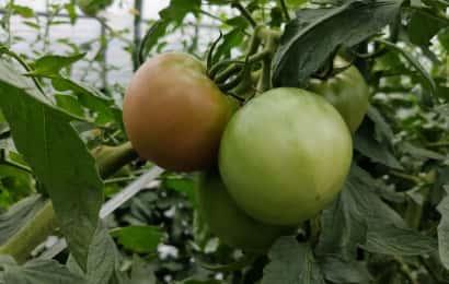 トマトの品種「りんか」409