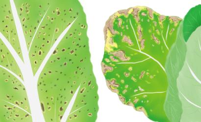 黒斑細菌病におかされたハクサイの葉