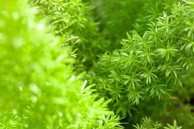 アスパラガスの葉