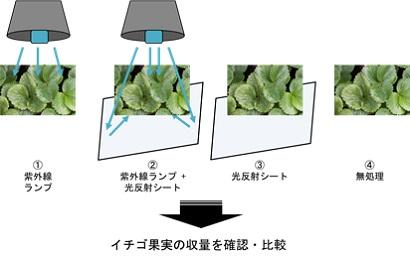 イチゴへの紫外線照射実験