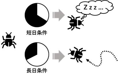 昆虫の光周性