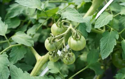 トマト摘果前