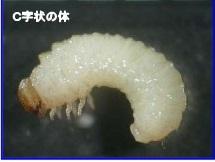 シバンムシ幼虫