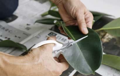 ゴムノキの葉をカット