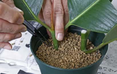 挿し穂を用土に挿している様子