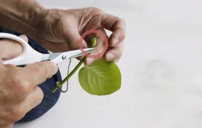 挿し穂の余分な部分をカット