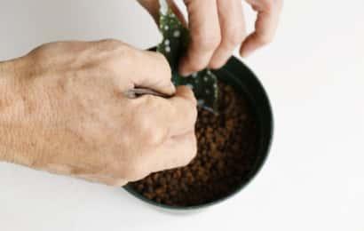サンセベリアの挿し穂を用土に挿す
