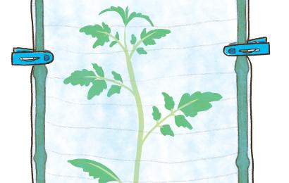 トマト苗の風よけ