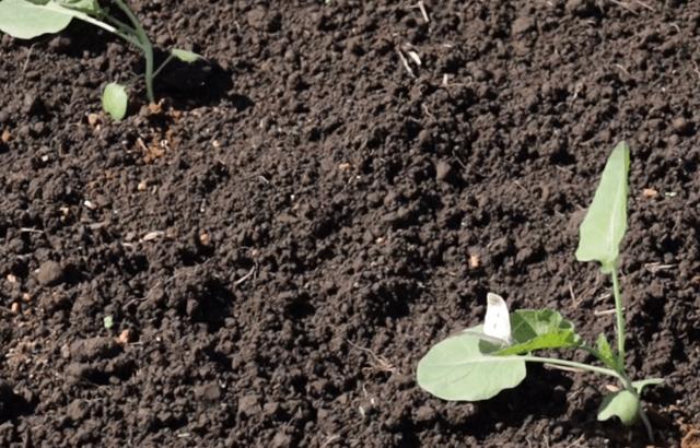 ブロッコリーの葉にとまるモンシロチョウ
