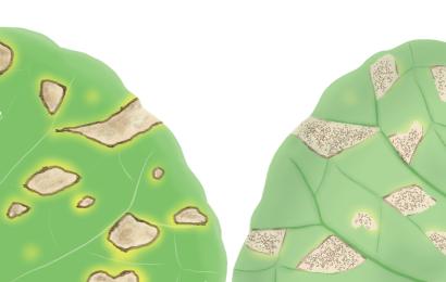 べと病におかされたブロッコリーの葉