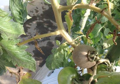 トマトサビダニに加害されたトマト