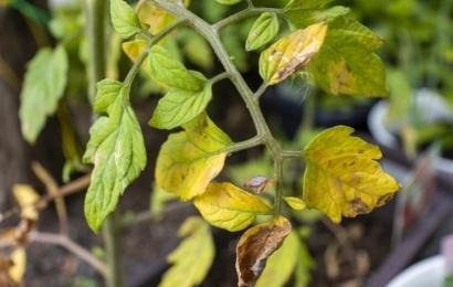 枯れたミニトマトの葉